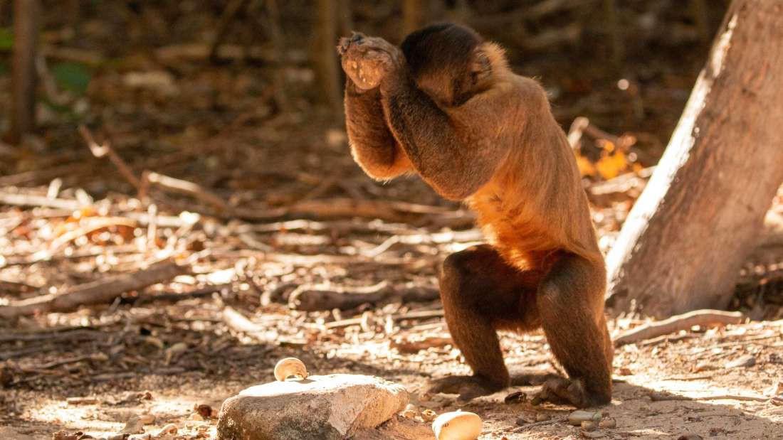 Bạn tưởng chỉ loài người biết tiến hóa? Có nhiều loài khỉ đã bước vào thời kỳ đồ đá từ 3000 năm trước rồi đó - Ảnh 3.