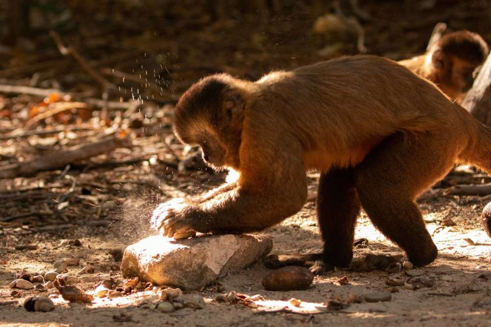 Bạn tưởng chỉ loài người biết tiến hóa? Có nhiều loài khỉ đã bước vào thời kỳ đồ đá từ 3000 năm trước rồi đó - Ảnh 1.