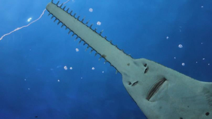 Dân mạng phát cuồng với con cá đao răng nhọn trông lúc nào cũng cáu bẳn như vừa bị ai đấm - Ảnh 1.