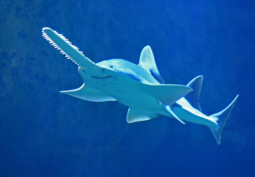 Dân mạng phát cuồng với con cá đao răng nhọn trông lúc nào cũng cáu bẳn như vừa bị ai đấm - Ảnh 8.