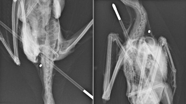 Chú hải âu đáng thương bị mũi tên bắn xuyên người nhưng ảnh chụp X quang còn hé lộ điều rùng rợn hơn - Ảnh 3.