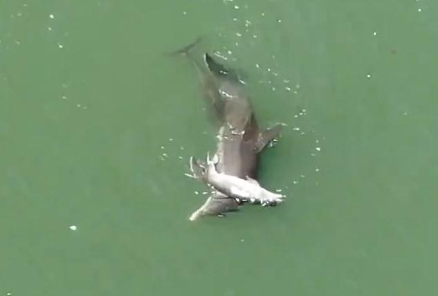 Cá heo ôm xác khác con đẩy lên mặt nước trong tuyệt vọng: Câu chuyện buồn chứng minh tình mẫu tử ở động vật là có thật - Ảnh 5.