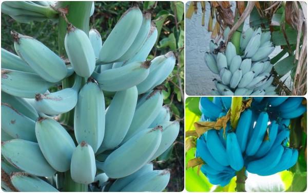 Tưởng là Photoshop nhưng những quả chuối xanh lam này có thật, rất hiếm và mang mùi vị ai nấy cũng thích khi nếm thử - Ảnh 1.