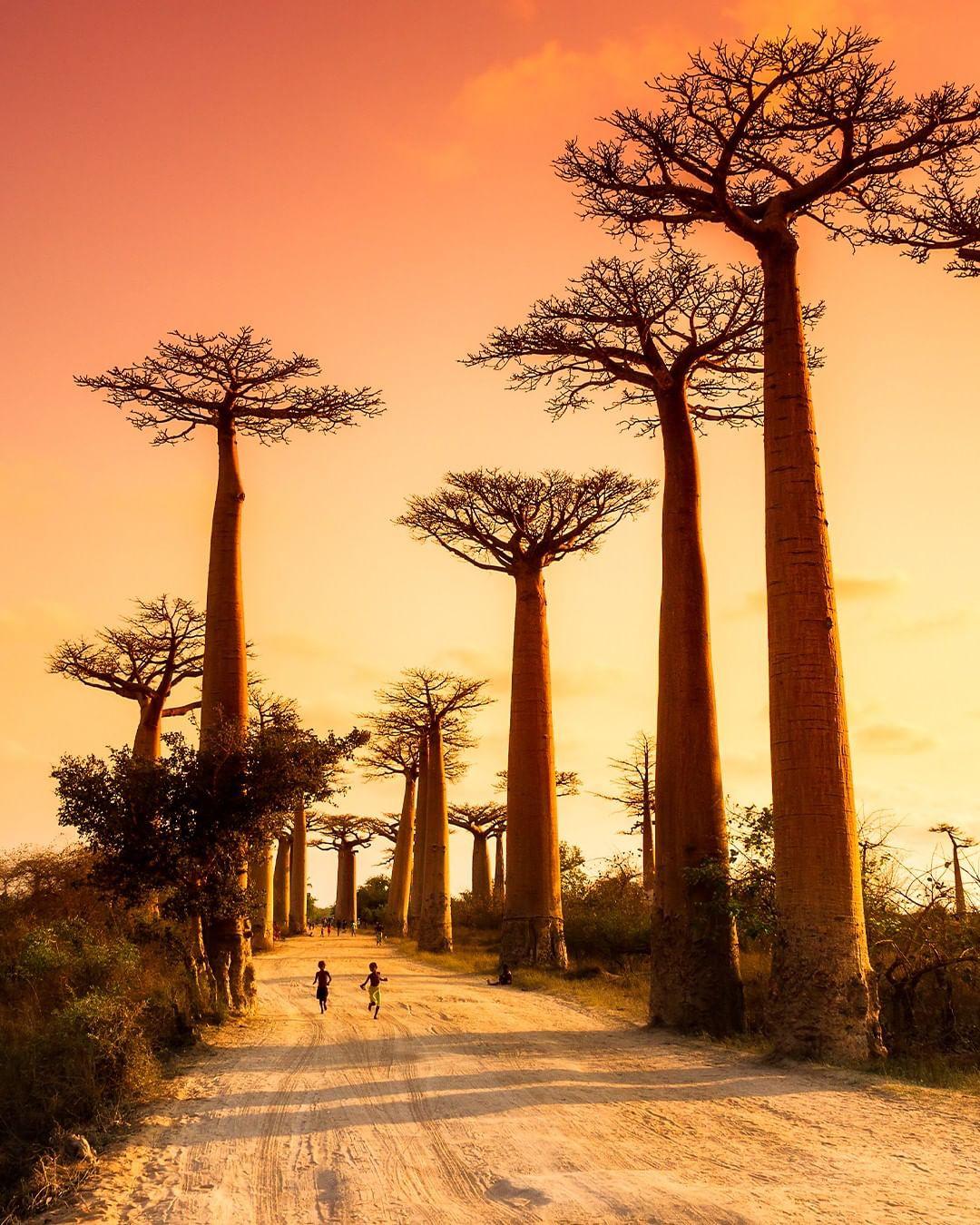 Dính phải lời nguyền phải mọc ngược, rừng cây ở Madagascar nay lại trở thành điểm check-in xịn xò của giới blogger du lịch - Ảnh 1.