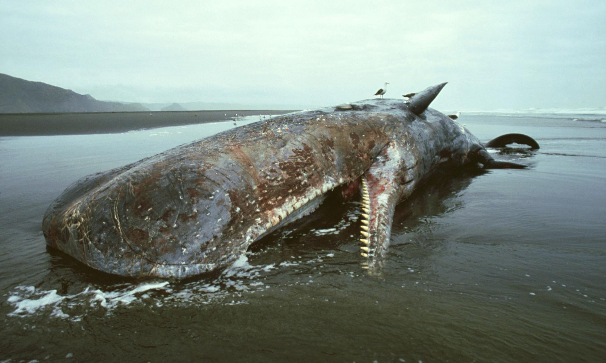 Chuyện ngày cuối đời của một con cá voi: Cái chết đau đớn tột cùng không thể tránh khỏi, nhưng lại là khởi đầu cho tương lai tốt đẹp hơn - Ảnh 1.
