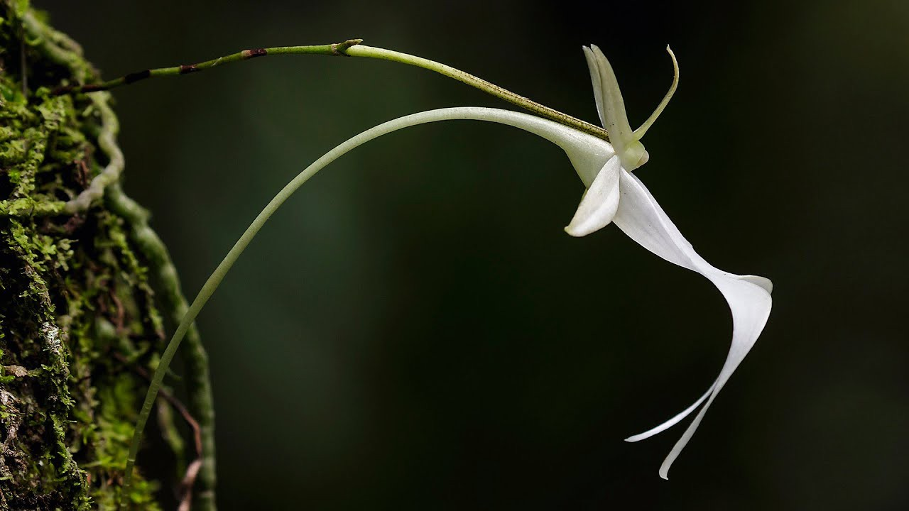 """Phong lan ma"""" - loài hoa hiếm bậc nhất thế giới với cái tên đầy ma mị, từng  khiến Darwin mất cả đời cũng không lý giải được"""