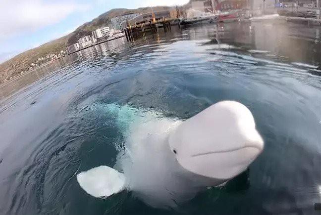 Lỡ tay làm rơi camera của người ta xuống nước, cậu cá voi beluga lặn xuống đáy mò tìm lại bằng được - Ảnh 2.