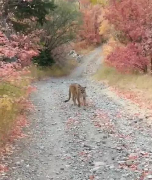 Bị sư tử núi đi theo dọa giết, thanh niên rút điện thoại tay quay mồm chửi xem đứa nào lì hơn - Ảnh 2.