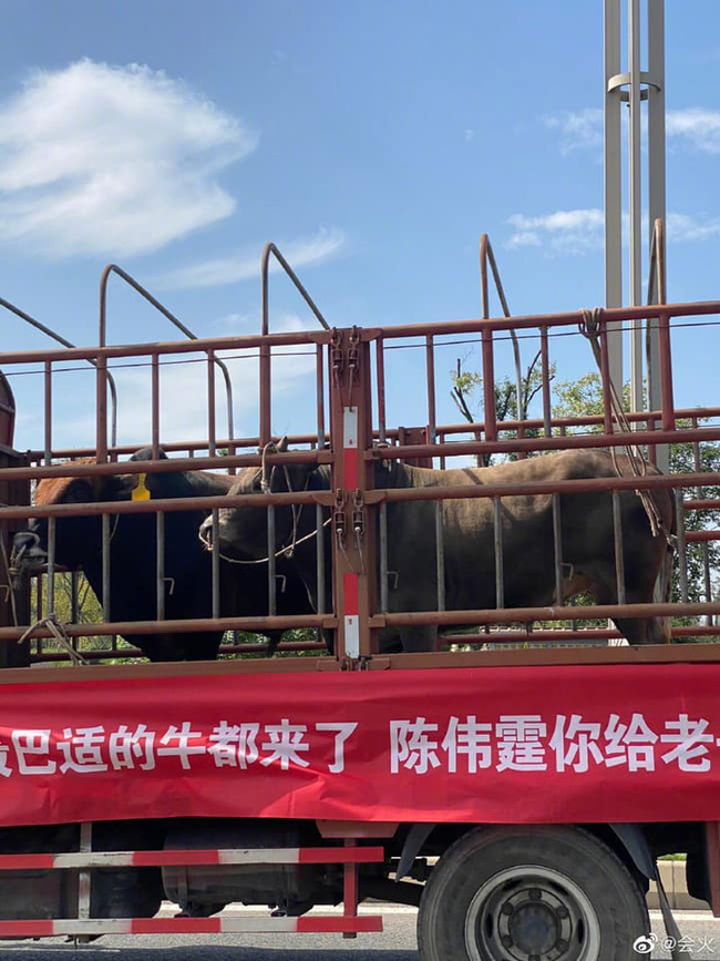 Món quà lạ lùng nhất Cbiz: Fan gửi cả xe tải chở trâu đến tận nơi làm việc để cổ vũ Trần Vỹ Đình - ảnh 1