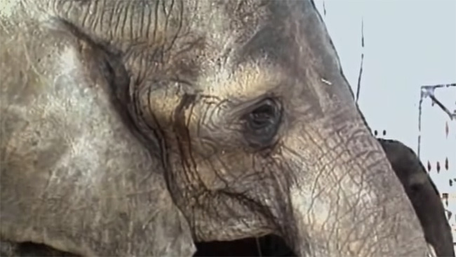 Đôi mắt đỏ rực, tứa máu của một con voi thức tỉnh cả nhân loại: 20 năm chịu cảnh tù đày thống khổ và 87 phát đạn rung chuyển cả thế giới - ảnh 2