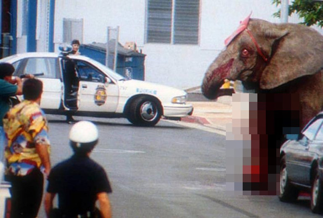 Đôi mắt đỏ rực, tứa máu của một con voi thức tỉnh cả nhân loại: 20 năm chịu cảnh tù đày thống khổ và 87 phát đạn rung chuyển cả thế giới - ảnh 11