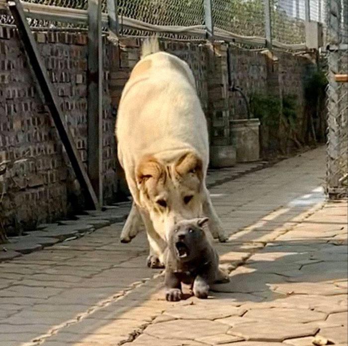 Dúi - chú cún Việt Nam đang gây bão mạng toàn thế giới vì độ phởn và vẻ ngoài ngộ nghĩnh không biết là chó hay mèo? - Ảnh 8.