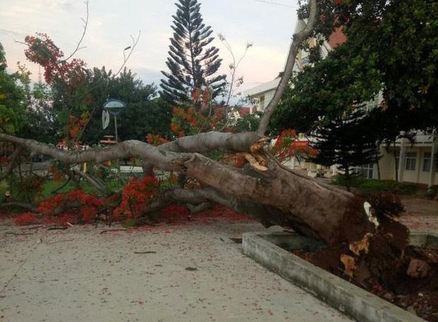 Nhiều trường quây hàng rào, đốn cây xanh trong sân sau hàng loạt vụ phượng vĩ bật gốc - ảnh 1