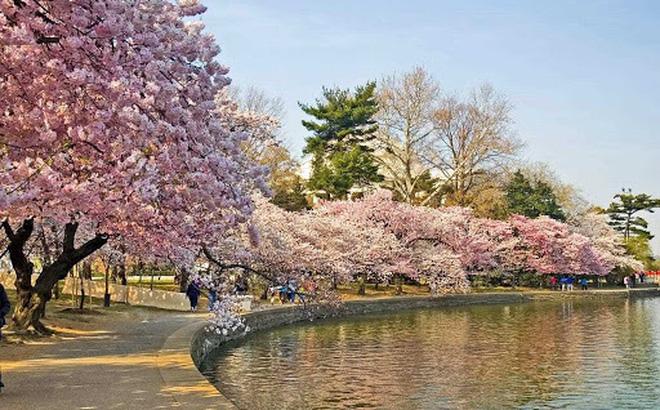 Quảng Bình tổ chức lễ hội hoa Anh đào trị giá 100 triệu USD - ảnh 1