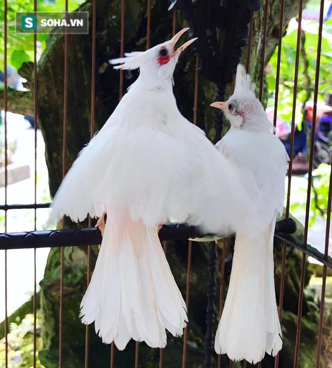 Độc nhất tại Việt Nam: 72 con chim quý tộc trị giá 10 tỷ đồng, có 2 bảo mẫu riêng chăm sóc - ảnh 3
