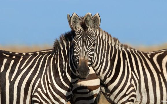 Rốt cuộc cái đầu kia là của con ngựa vằn bên phải hay bên trái? Hình ảnh gây lú khiến MXH hoang mang nhất hôm nay