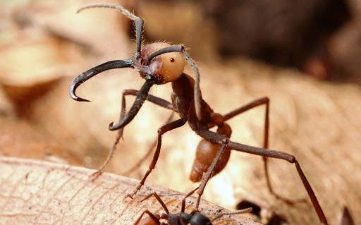 Loài kiến háu ăn nhất thiên nhiên: 1 ngày săn 500.000 con mồi, hàm răng nối lành được vết thương của người