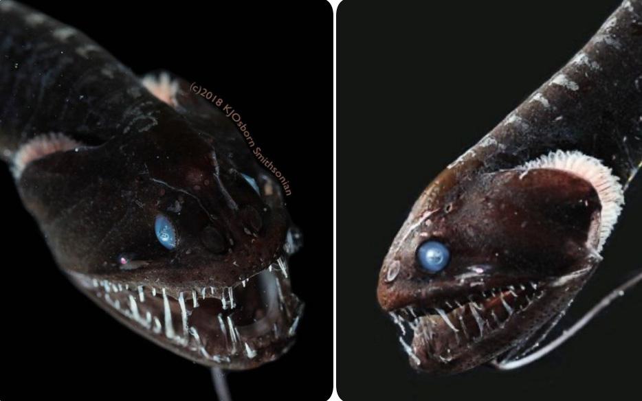 """Giải mã bí ẩn: Loài cá """"đen"""" bậc nhất hành tinh"""