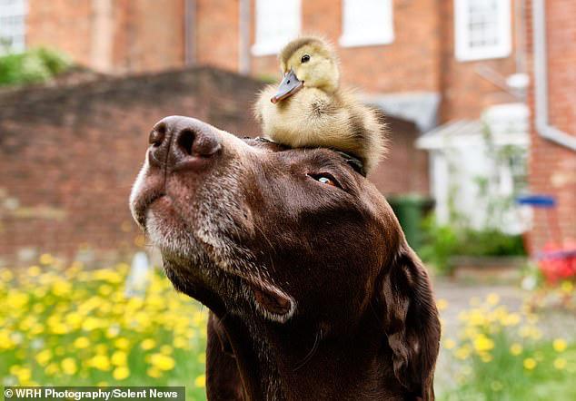 Chú chó làm bảo mẫu bất đắc dĩ của vịt con nhưng luôn cưng nựng hết mực, đi đâu cũng cõng trên lưng - ảnh 1