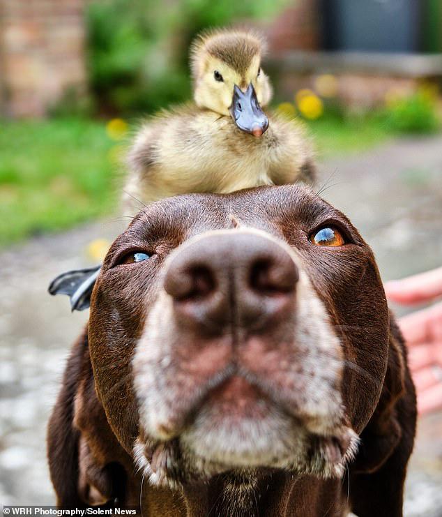 Chú chó làm bảo mẫu bất đắc dĩ của vịt con nhưng luôn cưng nựng hết mực, đi đâu cũng cõng trên lưng - ảnh 2