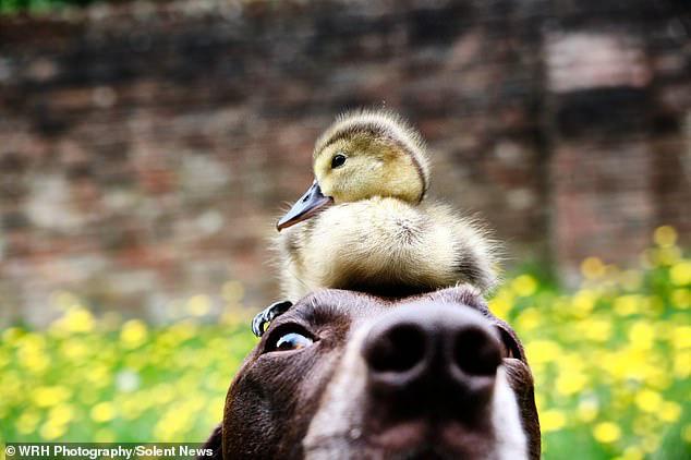 Chú chó làm bảo mẫu bất đắc dĩ của vịt con nhưng luôn cưng nựng hết mực, đi đâu cũng cõng trên lưng - ảnh 3