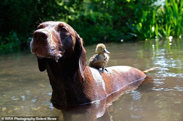 Chú chó làm bảo mẫu bất đắc dĩ của vịt con nhưng luôn cưng nựng hết mực, đi đâu cũng cõng trên lưng - ảnh 5