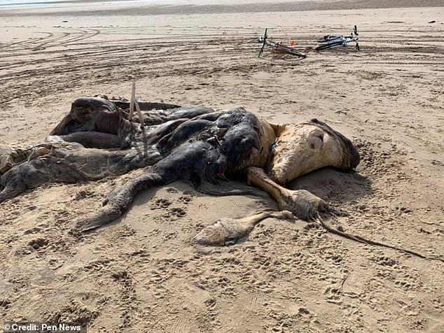 Xác 'quái vật kỳ lạ' dài 4,5m có chi và lông dạt vào bờ biển khiến nhiều người khiếp sợ, dân mạng nổ ra tranh cãi vì không biết là loài gì - ảnh 1