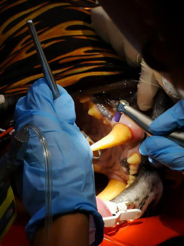 Nàng hổ móm được lắp răng giả mạ vàng xịn đét, tăng muôn phần cool ngầu với chị em - Ảnh 1.