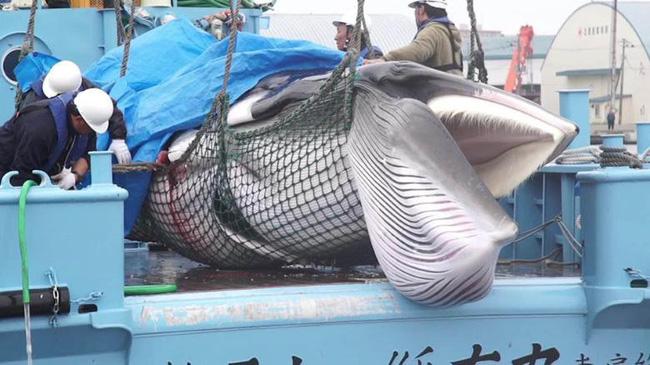 Súp vi cá mập, gan ngỗng, sushi cá ngừ xanh, liệu con người có thấu nỗi đau ai oán mà loài vật phải chịu đựng để cho ra ẩm thực tinh hoa? - ảnh 3