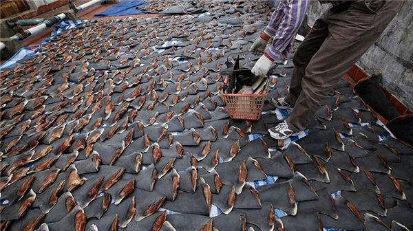 Súp vi cá mập, gan ngỗng, sushi cá ngừ xanh, liệu con người có thấu nỗi đau ai oán mà loài vật phải chịu đựng để cho ra ẩm thực tinh hoa? - ảnh 6