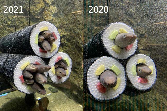 Thủy cung tạo ra những cuộn sushi cá chình khổng lồ khiến dân tình khóc thét và sự thật thú vị đằng sau - ảnh 5
