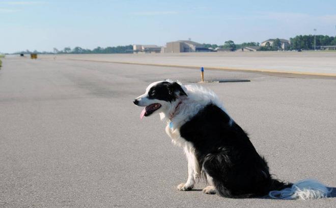 Chó đột nhập sân bay ở Thanh Hóa, máy bay phải chờ hạ cánh - ảnh 1