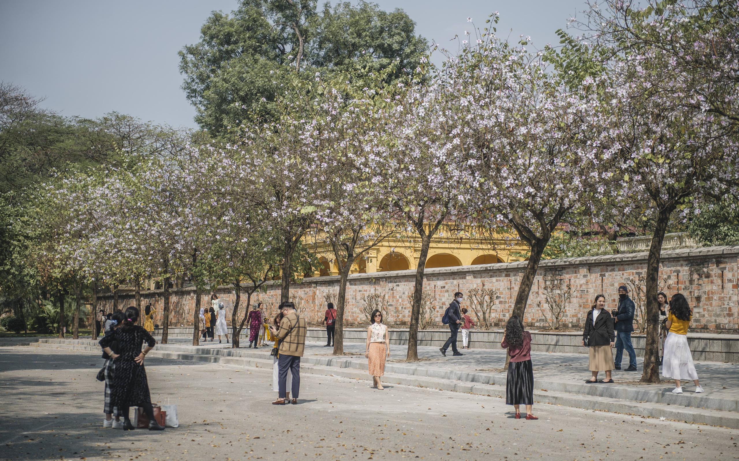 Hà Nội đẹp mê mẩn trong sắc tím hoa ban rợp trời, dân tình rần rần rủ nhau về con đường nổi tiếng chụp ảnh