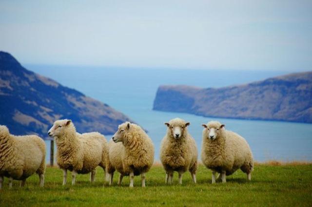 Đút túi ngon ơ gần 4 tỷ/năm với công việc đơn giản từ sáng đến chiều chỉ đi trực thăng và ôm cừu - ảnh 1