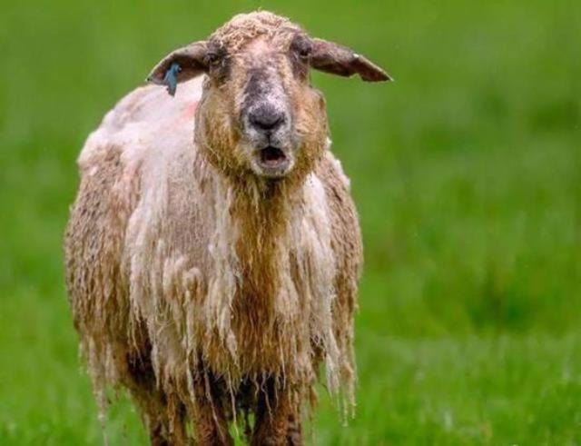 Đút túi ngon ơ gần 4 tỷ/năm với công việc đơn giản từ sáng đến chiều chỉ đi trực thăng và ôm cừu - ảnh 2