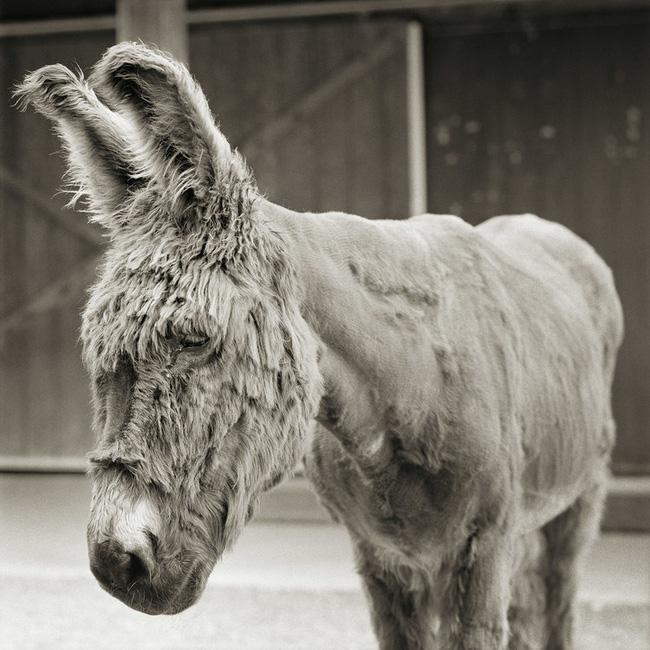 Chùm ảnh những con vật được cho phép sống đến già gây ám ảnh lạ kỳ: Khi các mảnh đời ngắn ngủi được ban tặng sự sống buồn tủi - ảnh 2