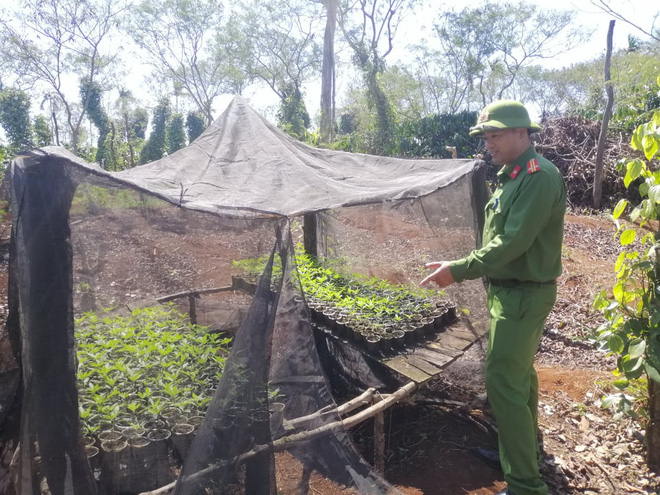 Hai anh em trồng hơn 1.500 cây cần sa ở Tây Nguyên - ảnh 2
