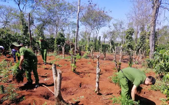 Hai anh em trồng hơn 1.500 cây cần sa ở Tây Nguyên - ảnh 1