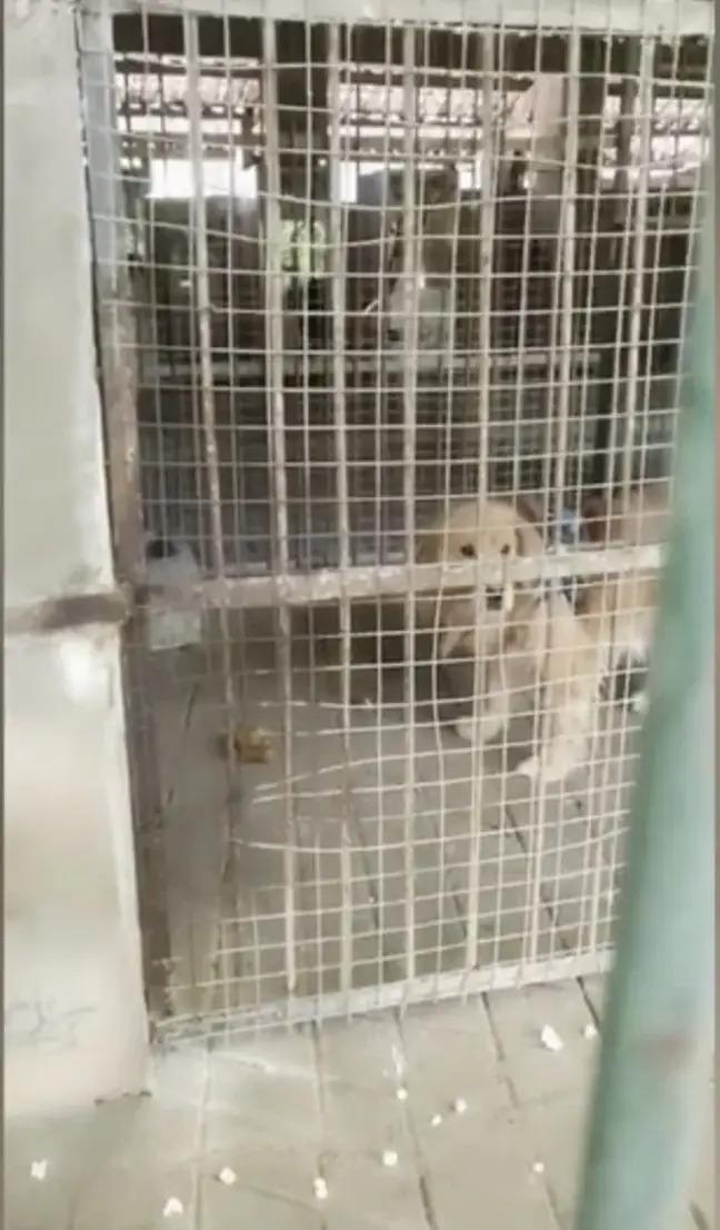 Sở thú lùa chó vàng vào chuồng rồi quảng cáo đấy là sư tử Châu Phi để thu tiền khách - Ảnh 2.