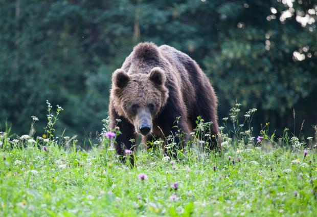 Gấu đen khổng lồ kiếm mồi gần địa điểm thi đấu Olympic, cảnh sát Nhật vội vã truy dấu: Chúng tôi vẫn chưa tìm thấy nó - ảnh 1