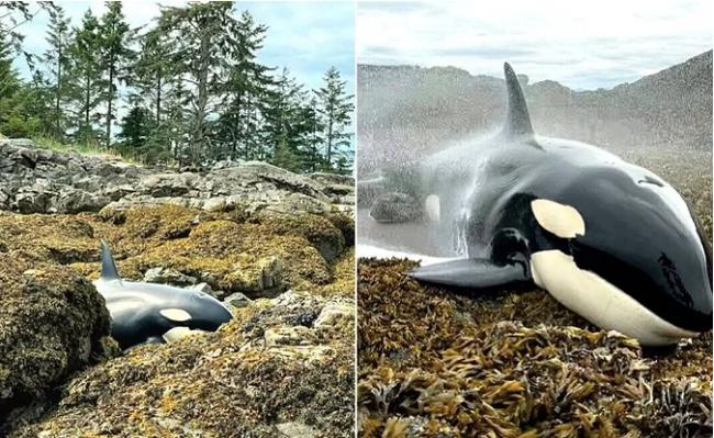Cuộc giải cứu cá voi sát thủ mắc cạn đầy gay cấn, những xô nước nhỏ kiên trì 6 tiếng tạo thành điều kì diệu - ảnh 2