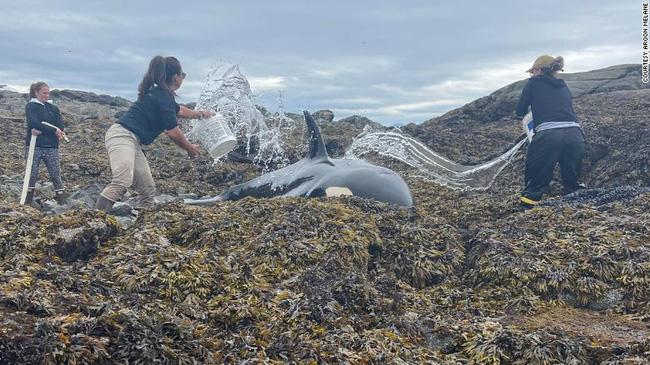 Cuộc giải cứu cá voi sát thủ mắc cạn đầy gay cấn, những xô nước nhỏ kiên trì 6 tiếng tạo thành điều kì diệu - ảnh 4