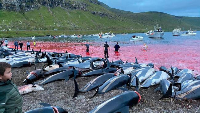 Cảnh chết chóc kinh hoàng trên bãi biển nhuộm đỏ máu của 1.400 con cá heo: Ngỡ thảm họa thiên nhiên nhưng nguyên nhân từ chính con người - ảnh 1