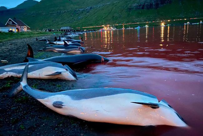 Cảnh chết chóc kinh hoàng trên bãi biển nhuộm đỏ máu của 1.400 con cá heo: Ngỡ thảm họa thiên nhiên nhưng nguyên nhân từ chính con người - ảnh 2