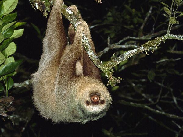 Loài động vật này sống ở vùng Trung và Nam Mỹ. Chúng là động vật ăn tạp, có  thể ăn côn trùng, thằn lằn nhỏ… nhưng thức ăn của chúng chủ yếu ...
