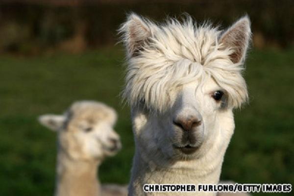 Lạc đà Alpaca là một loài động vật Nam Mỹ, có họ hàng với lạc đà. Một con  lạc đà Alpaca trưởng thành có chiều dài khoảng 81 - 99cm và nặng ...