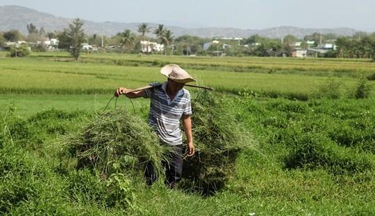 Nhiều nông dân tranh thủ sau cơn mưa cắt cỏ non mọc xanh mướt ven các chân ruộng, làm thức ăn cho gia súc.