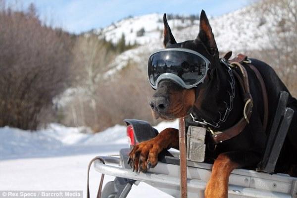 Kính thể thao sành điệu dành riêng cho cún cưng - KÍNH THỂ THAO CHO CHÓ REX  SPECS, KINH THE THAO CHO CHO REX SPECS
