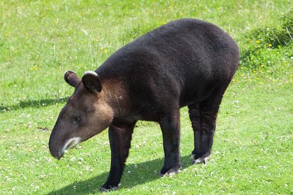 Heo Vòi Có 4 Phân Loài, Phân Bố Tại Các Khu Rừng Nhiệt Đới Thuộc Nam Mỹ,  Trung Mỹ Và Đông Nam Á. Đây Là Loài Gần Như Không Thay Đổi Về Hình ...