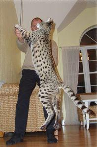 mèo khổng lồ